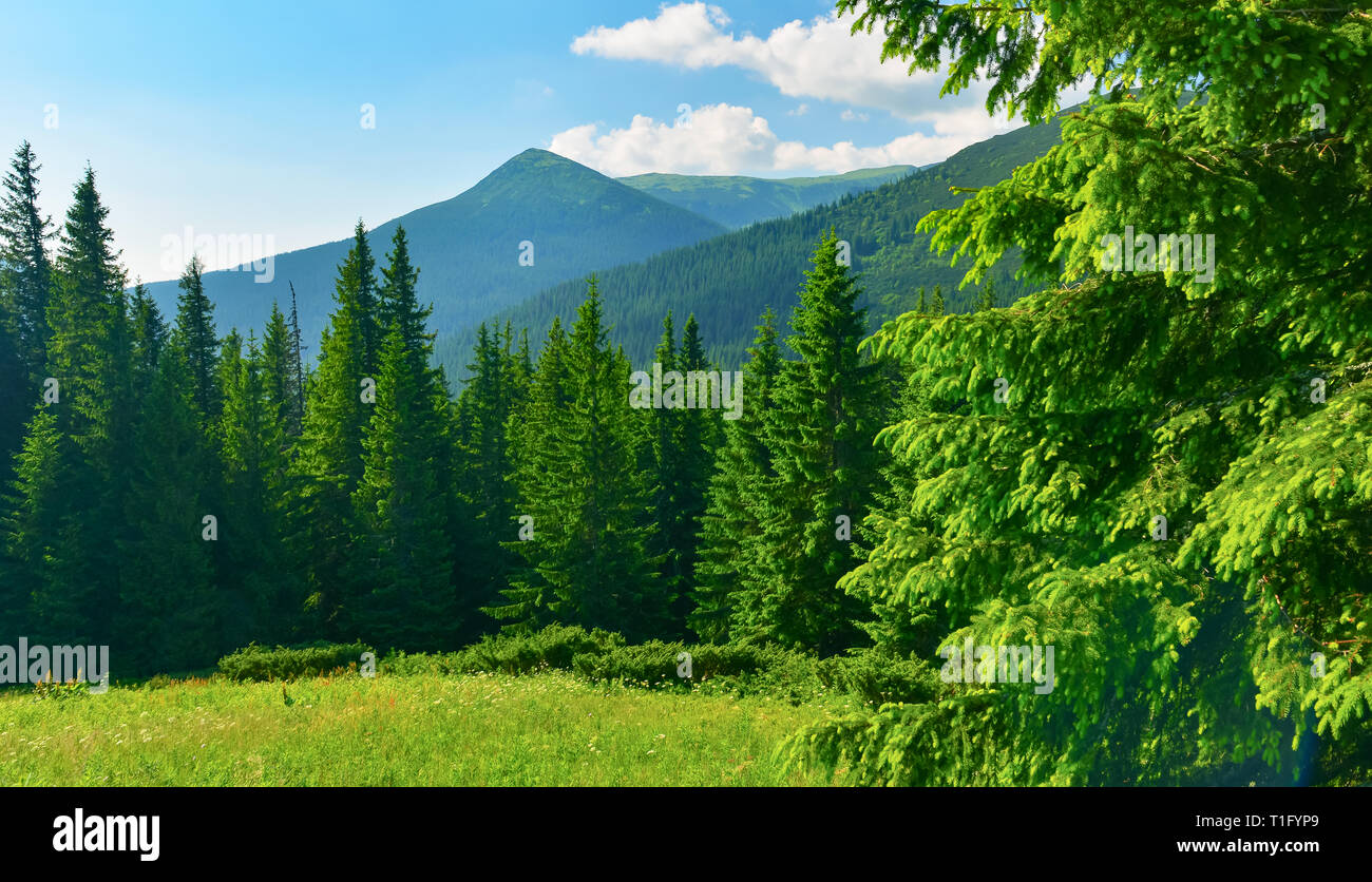 View of evergreen conifer forest in summer - Stock Image