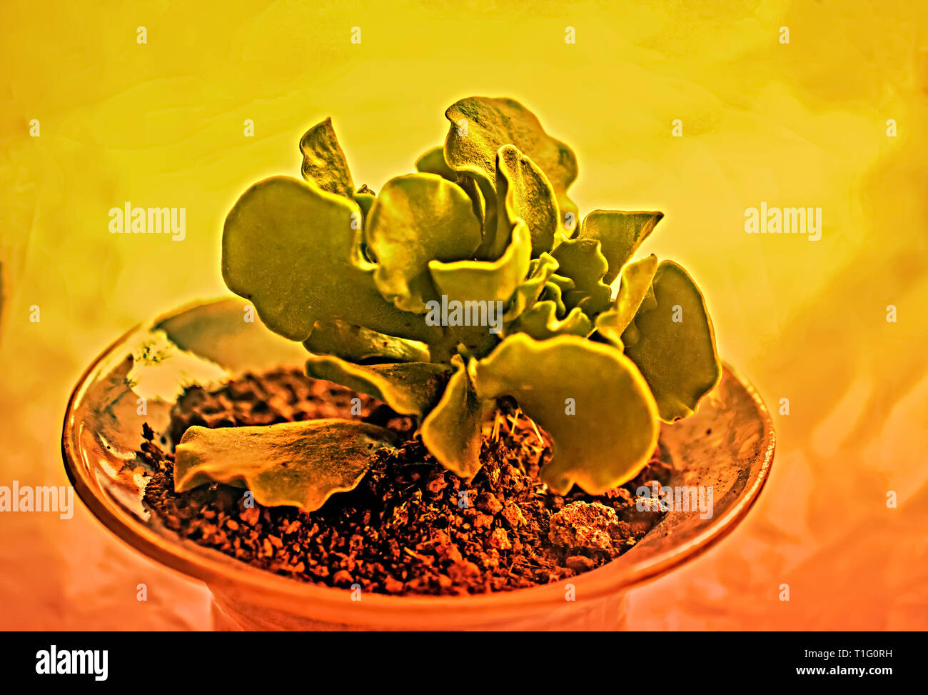 Digitally enhanced image of a potted Adromischus cristatus - Stock Image