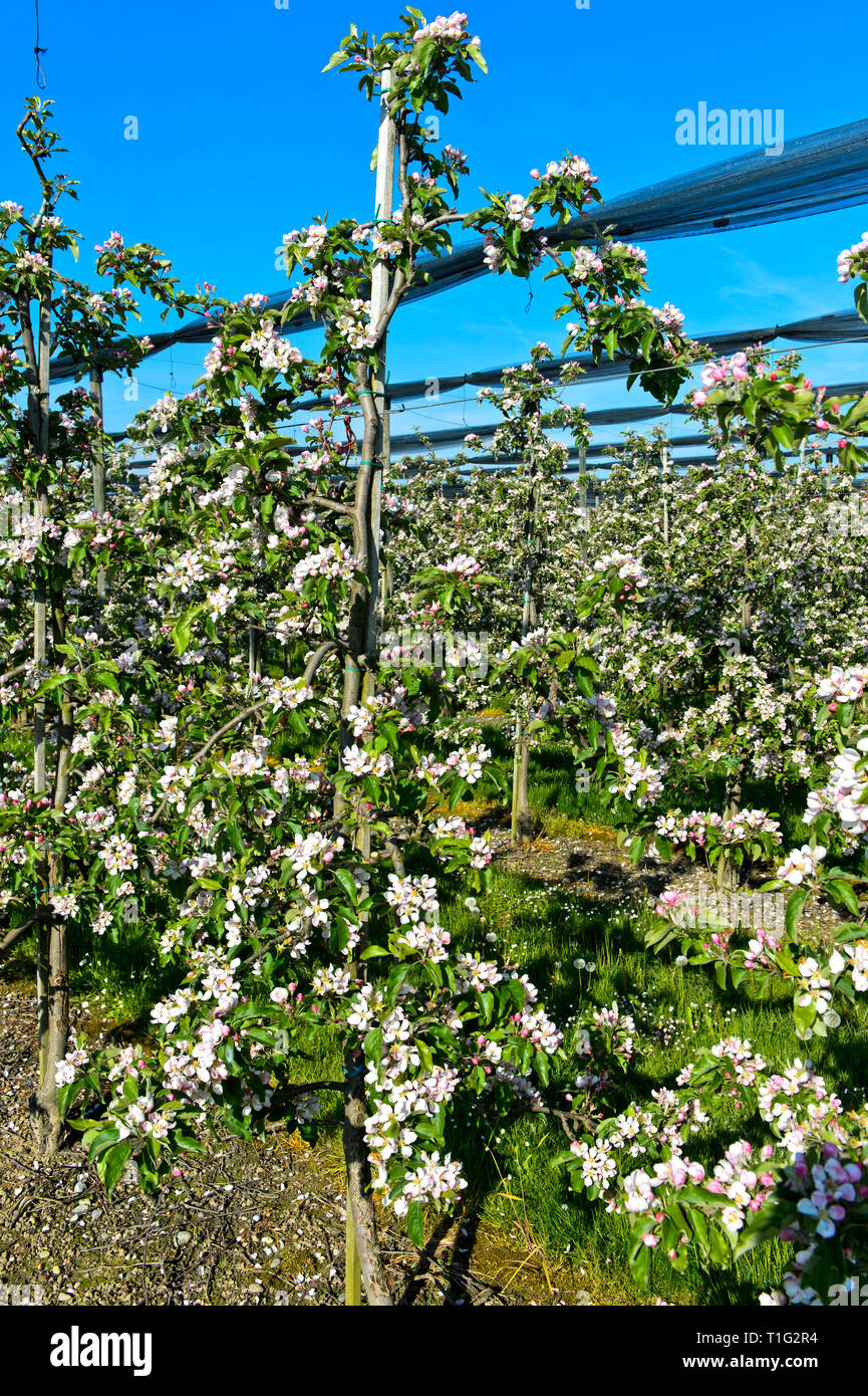 Blossoming apple trees in half-standard tree cultivation, canton of Thurgau, Switzerland - Stock Image