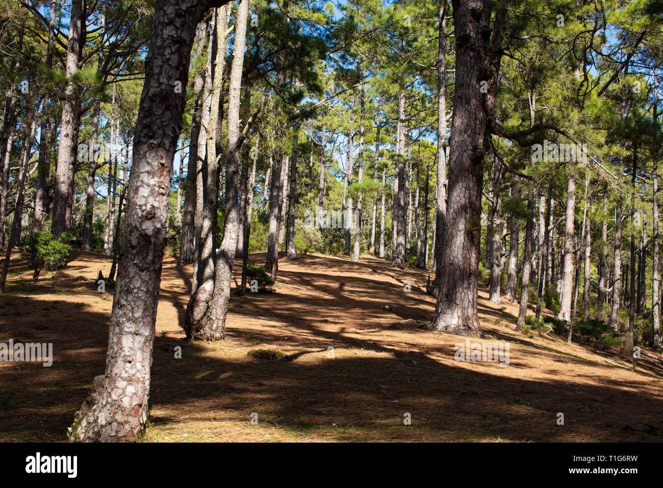 Pine forest Teneriffa - Stock Image
