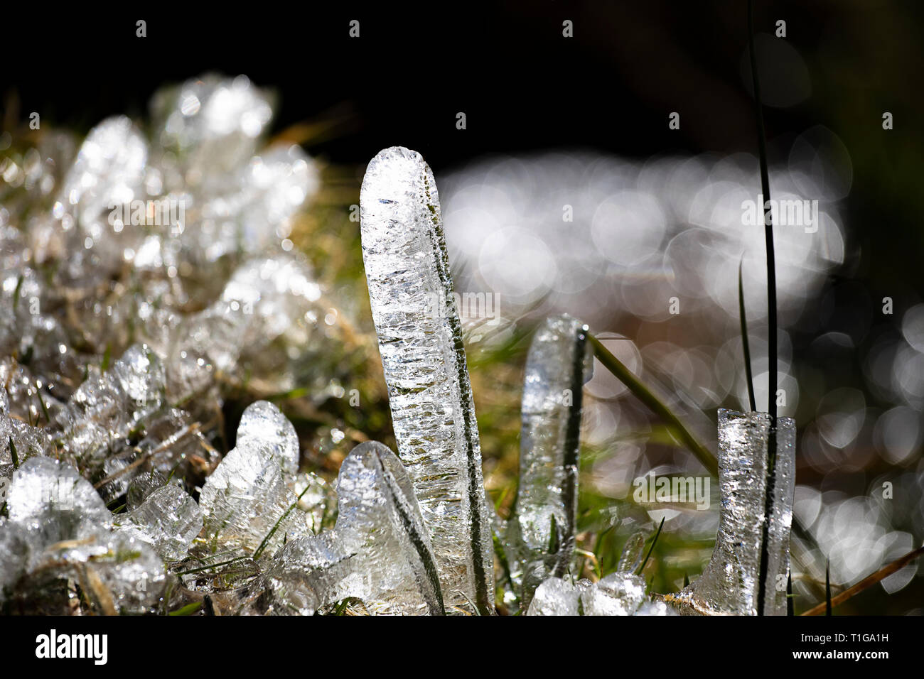Freshness of Pre-spring. Melting ice on green sprouting fresh shoots of plants. Shiny ice fancy forms close-up. Icicles with green grass. Early spring - Stock Image