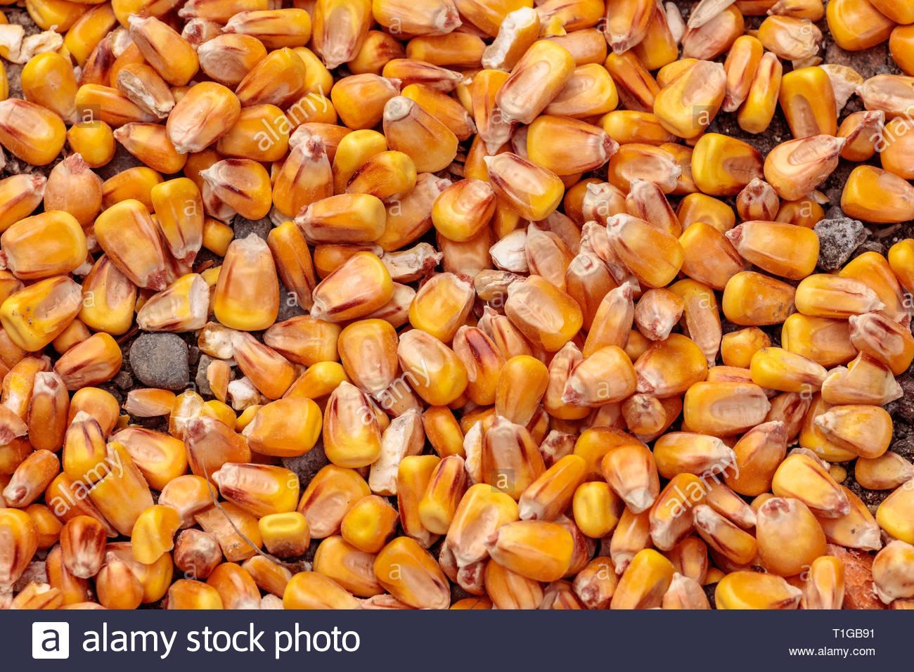 Maize or corn kernels close up yellow pattern - Stock Image