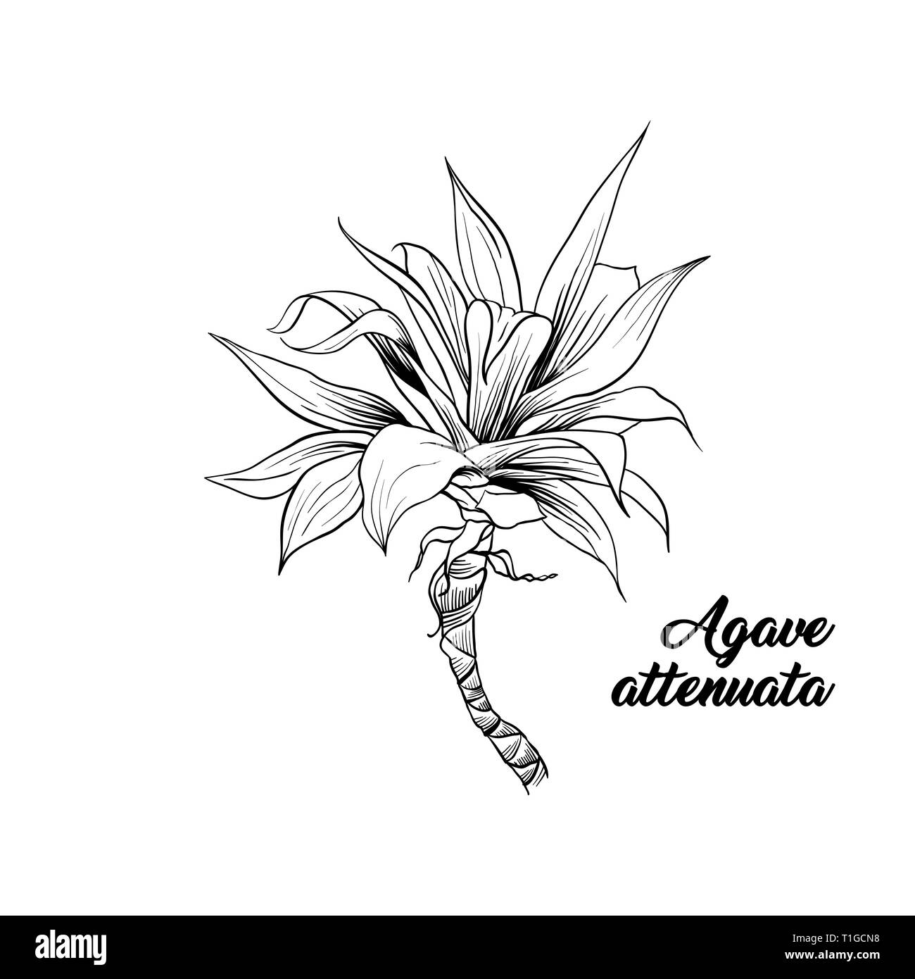 Agave Attenuata Palm Tree Hand Drawn Illustration Palm Leaves Ink Pen Outline Sketch Tropical Plant Freehand Realistic Engraving Greeting Card Isolated Monochrome Design Element Stock Vector Image Art Alamy Then i overlaid the drawings to create this modern illustration. https www alamy com agave attenuata palm tree hand drawn illustration palm leaves ink pen outline sketch tropical plant freehand realistic engraving greeting card isolated monochrome design element image241921044 html