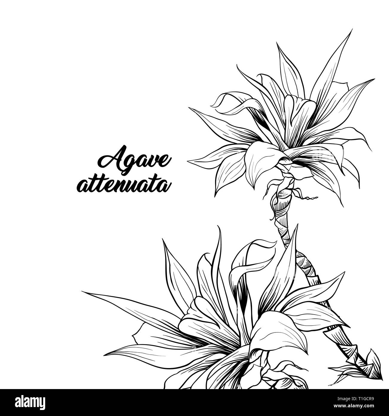 Agave Attenuata with name hand drawn illustration. Palm tree branches ink pen drawing. Botanical clipart with calligraphy. Tropical plant outline sketch. Exotic leaves monochrome design element - Stock Vector