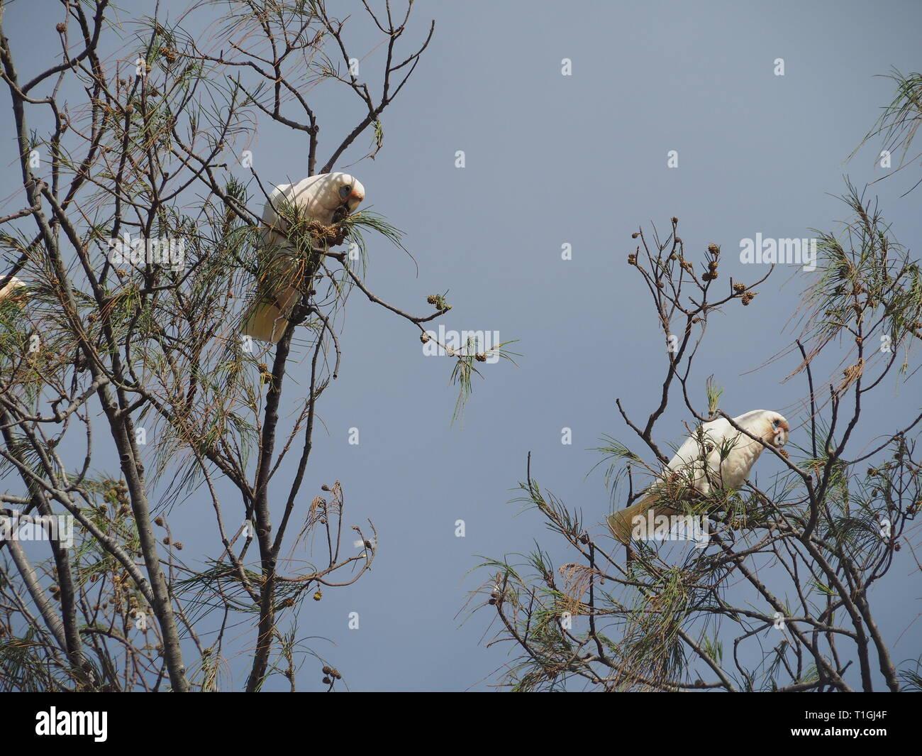 Australian Corellas in trees by the beach - Stock Image