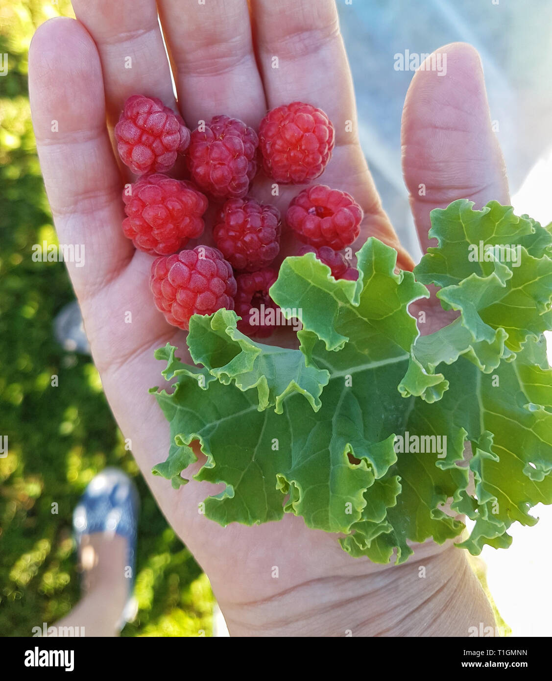 Home grown kale and raspberries. - Stock Image
