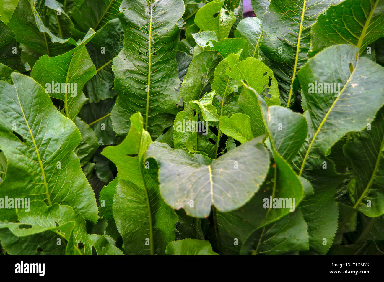 A bush of green leaves of horseradish in the garden in the village. - Stock Image