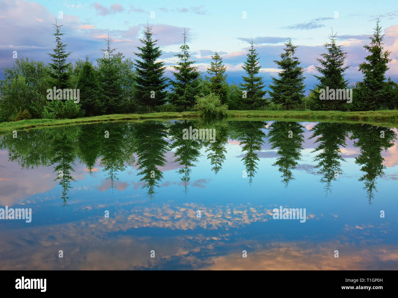 Spruces around mountain lake with reflection in the water after sunset. Beautiful lanscape natural scene. - Stock Image