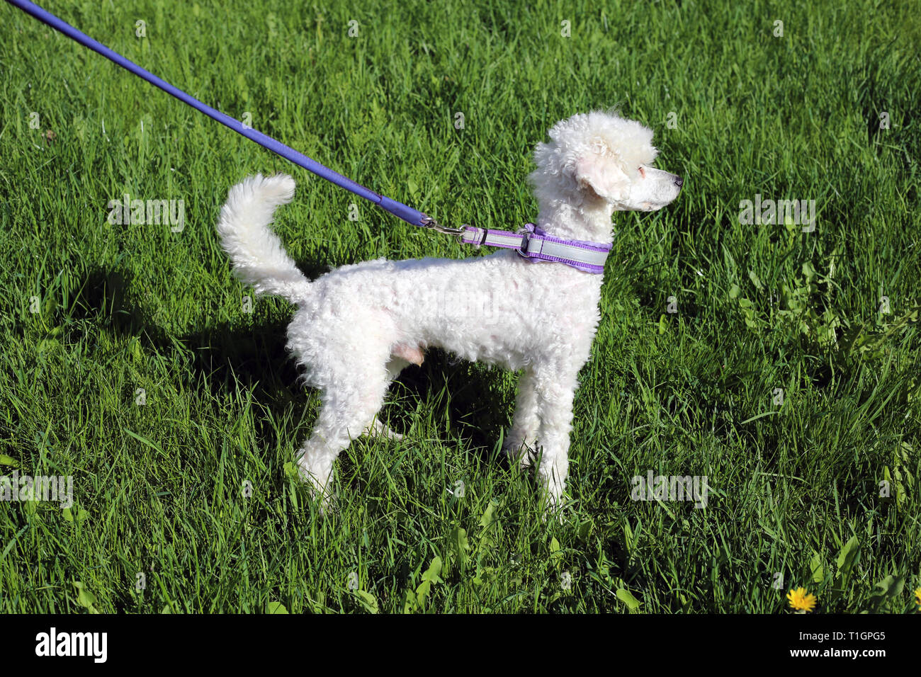 White young miniature poodle dog photographed during a sunny day outdoors. The dog has purple leash and there is green grass on the background. - Stock Image