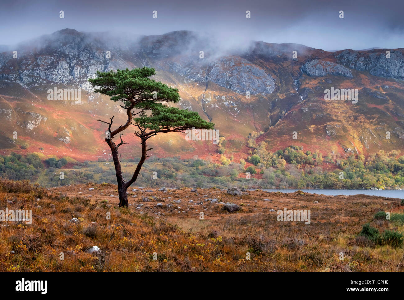 Scots Pine Tree above Loch Maree backed by Slioch, Wester Ross, Scottish Highlands, UK - Stock Image