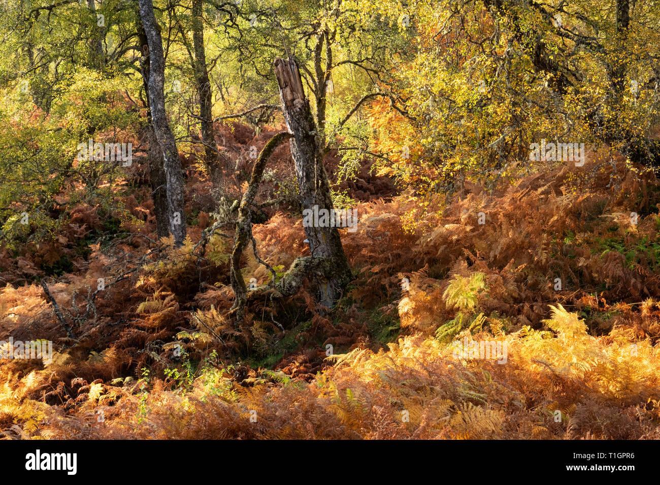Woodland Autumn Colours, Glen Affric, Highland, Scotland, UK - Stock Image
