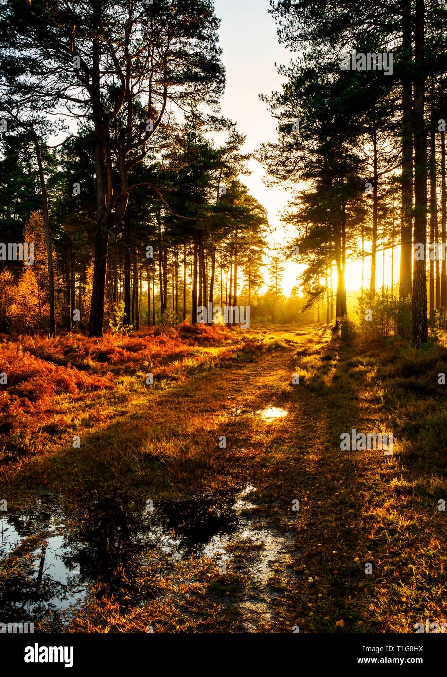 A blaze of autumnal golden light amongst the trees at Vinney Ridge in the New Forest, Hampshire. Taken back in November 2018. Stock Photo