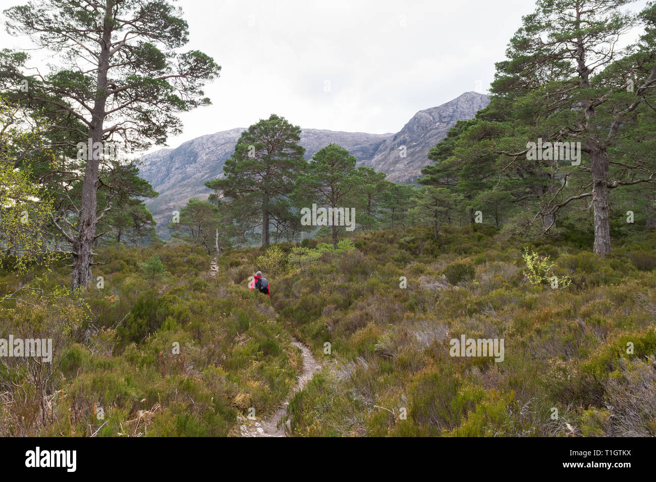 Scots Pines - Pinus sylvestris - hiker walking through remnants of the ancient Caledonian Forest - Beinn Eighe, Scottish Highlands, UK Stock Photo