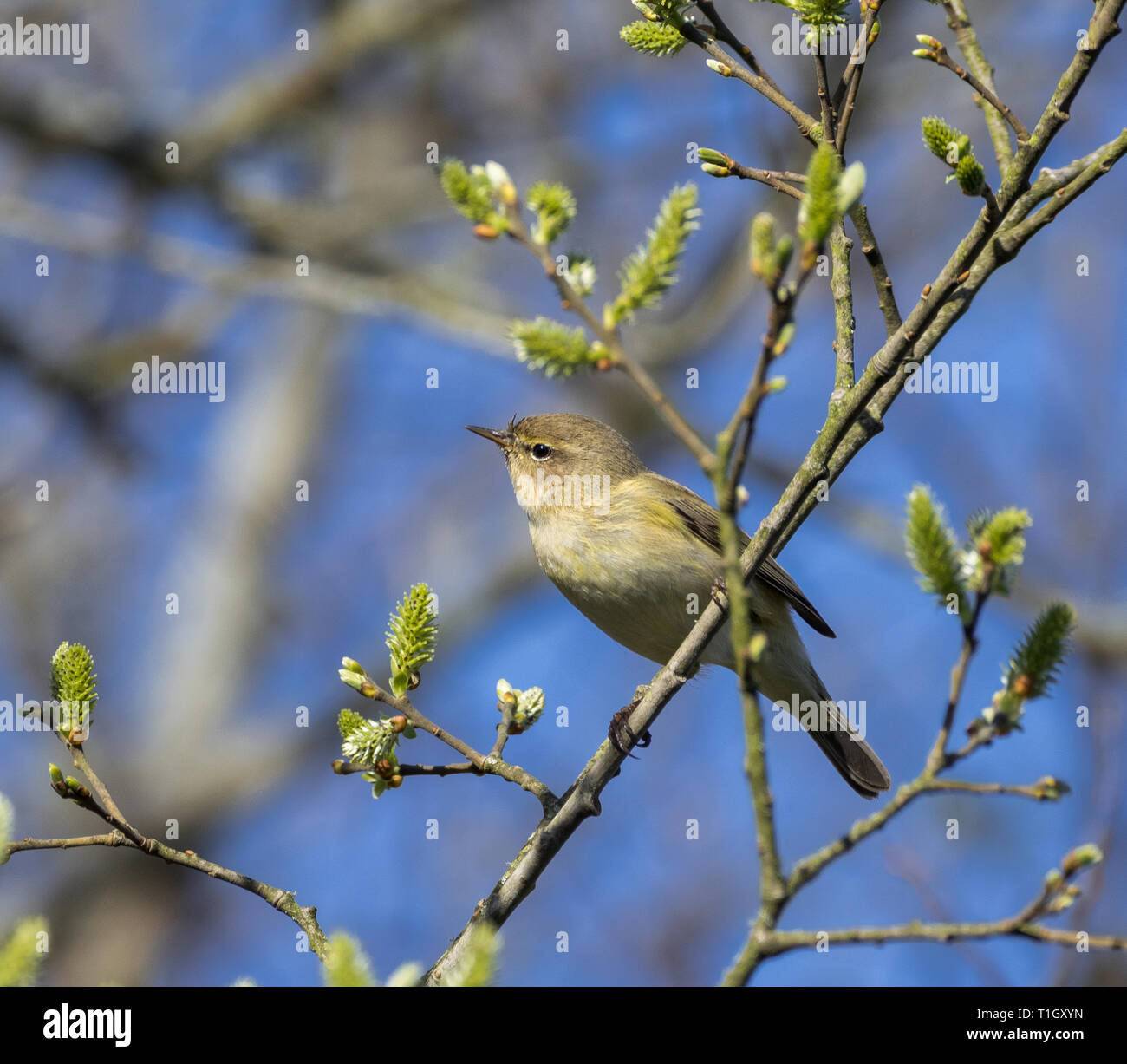 Chiff Chaff, Teifi Marshes, Welsh Wildlife Centre, Wales Stock Photo