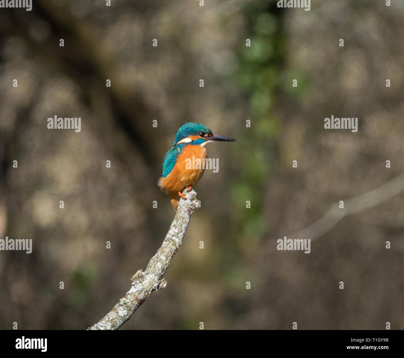 Kingfisher, Teifi Marshes, Welsh Wildlife Centre, Wales Stock Photo