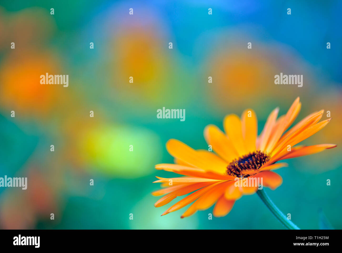 Common marigold Calendula officinalis flower. Selective focus and very shallow depth of field. - Stock Image