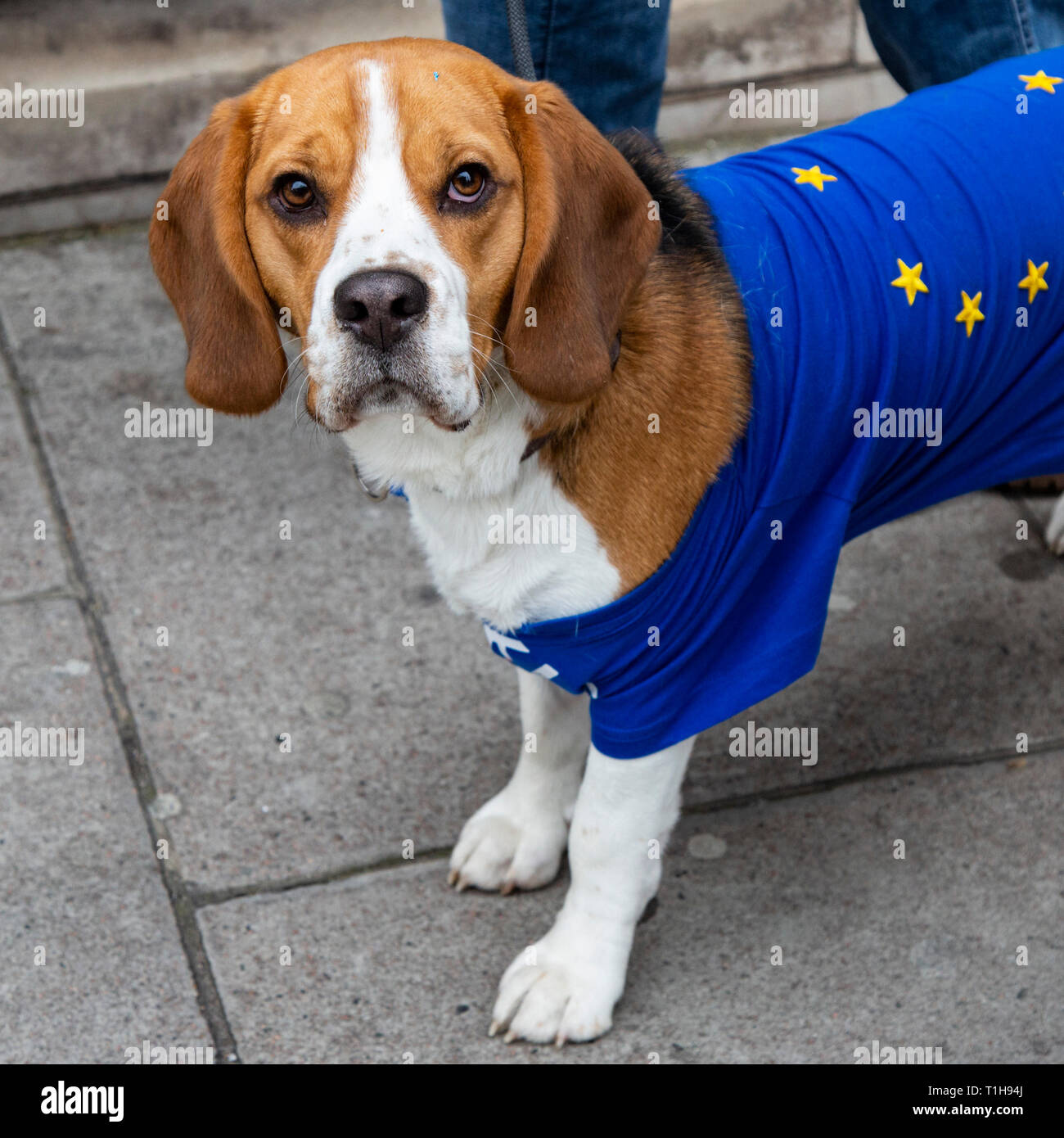 London, UK. 23 March 2019. Dog with an EU flag. Remain supporters and protesters take part in a march to stop Brexit in Central London calling for a People's Vote. - Stock Image