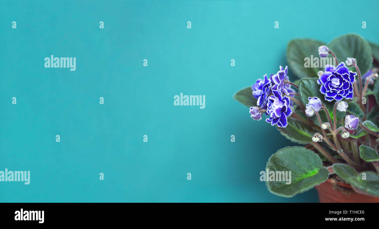Bushes Blooming purple Saintpaulia in a flower pot on a blue background. Side view - Stock Image