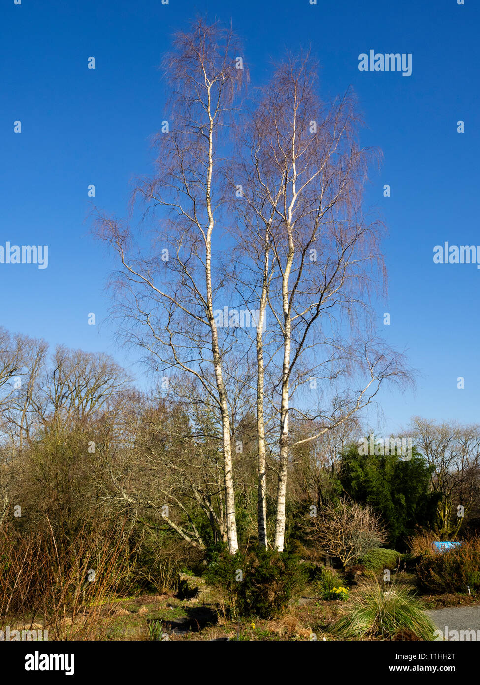 Winter bare weeping branches from upright growth in the hardy, silver barked birch, Betula pendula 'Tristis' - Stock Image