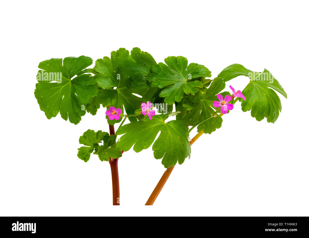 Small pink flowers and glossy foliage of the UK wildflower and annual garden weed, Geranium lucidum, shiny cranesbill - Stock Image