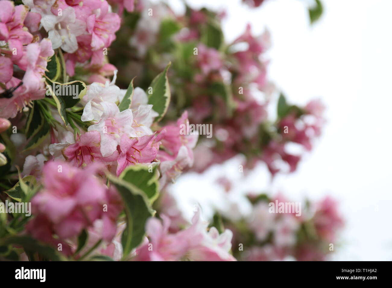 White And Pink Flowers Bush With Green And White Edges Stock Photo Alamy