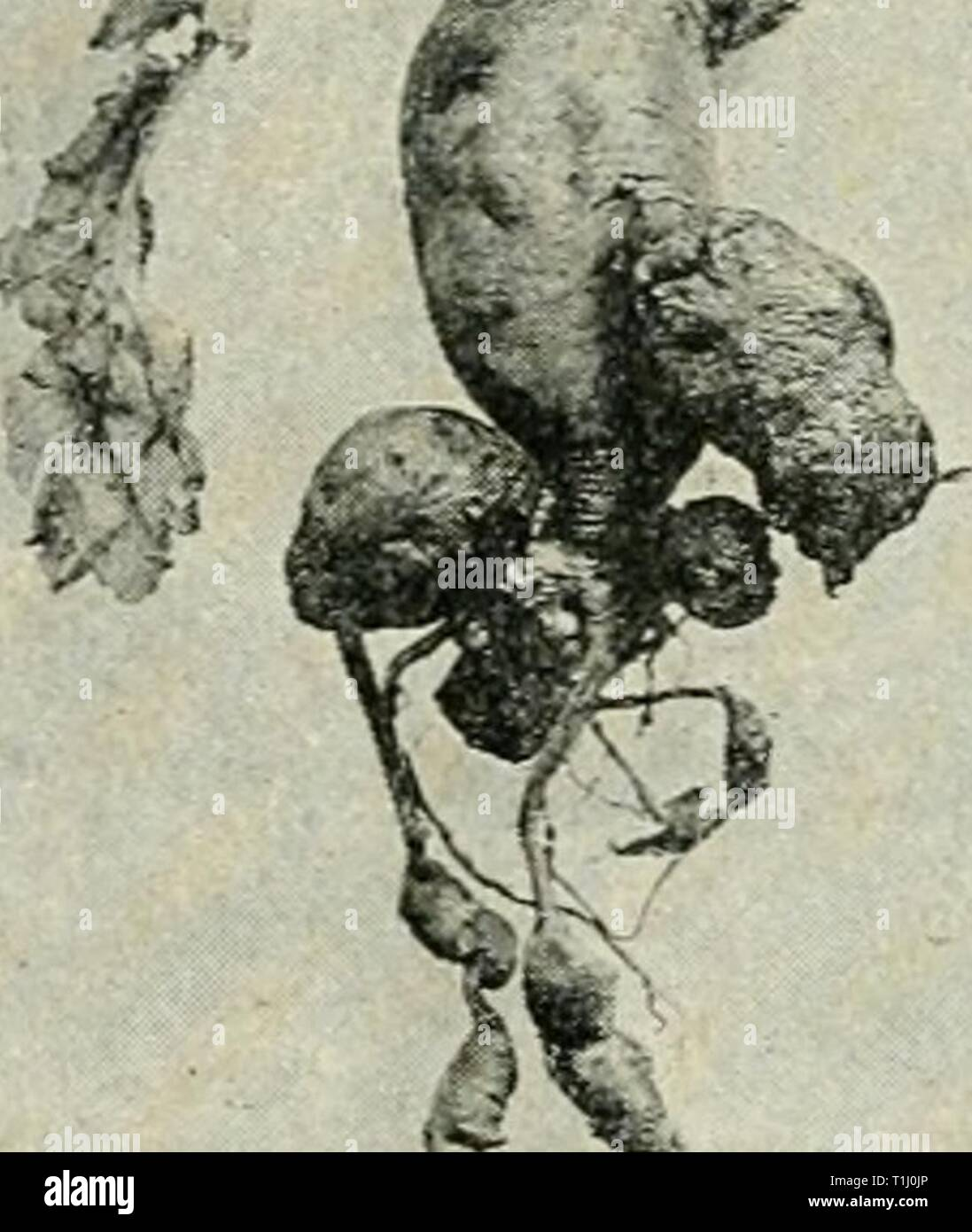 Diseases of plants induced by Diseases of plants induced by cryptogamic parasites; introduction to the study of pathogenic Fungi, slime-Fungi, bacteria, & Algae  diseasesofplant00tube Year: 1897  ?' r Stock Photo
