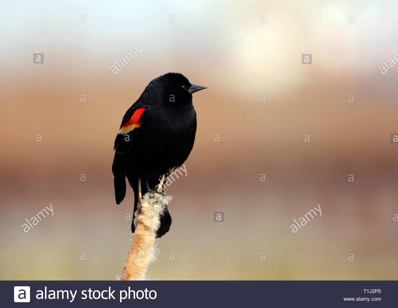 Red Winged Blackbird - Stock Image