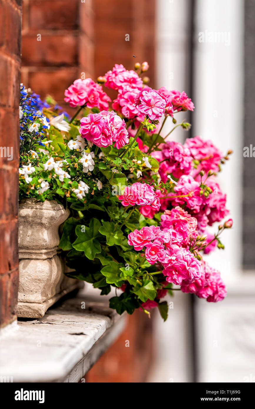 Pink color flower basket box decoration on summer day with brick architecture in Chelsea, London UK window - Stock Image