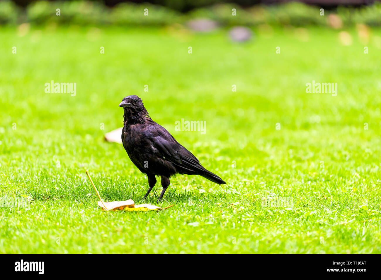 Crow in London, UK standing on lawn grass by leaves autumn foliage closeup of black raven bird - Stock Image