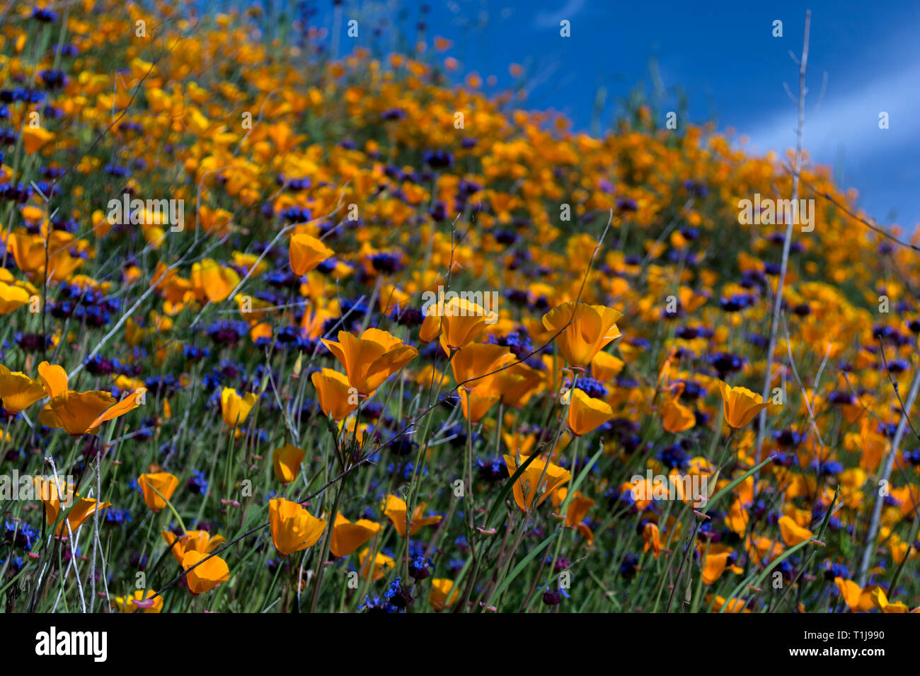 Yellow and purple flowers - Stock Image