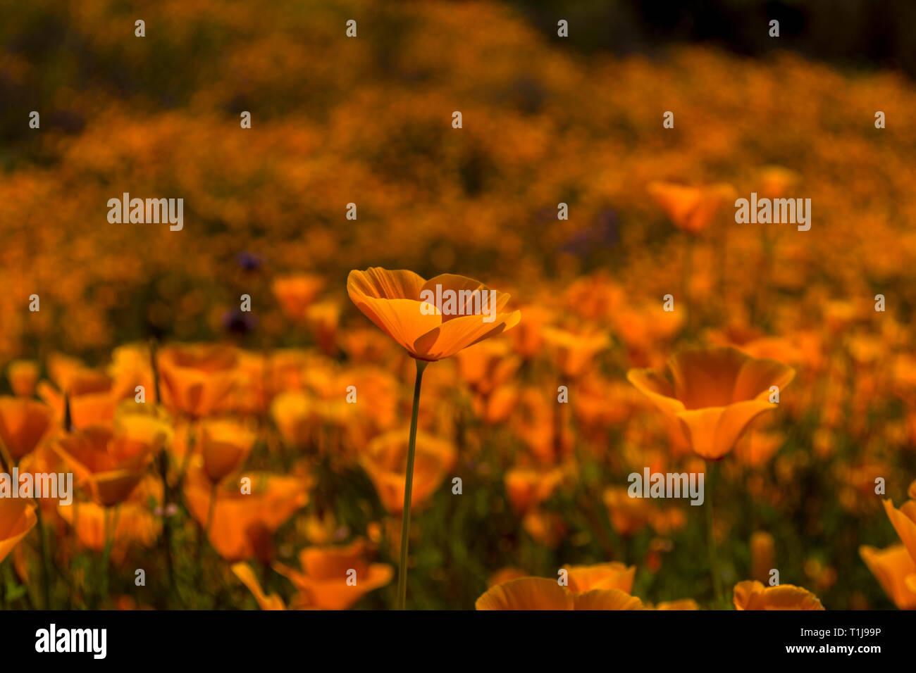 Tall Poppy - Stock Image