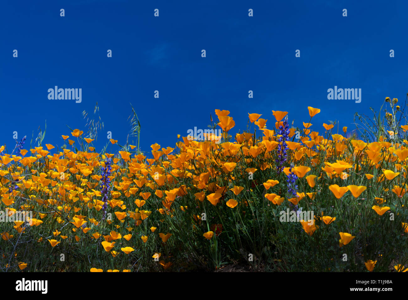 Poppies against a blue sky - Stock Image