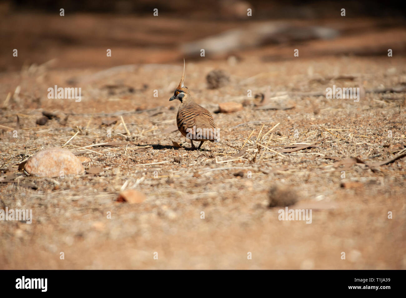 Spinifex pigeons foraging, Alice Springs Desert Park Stock Photo
