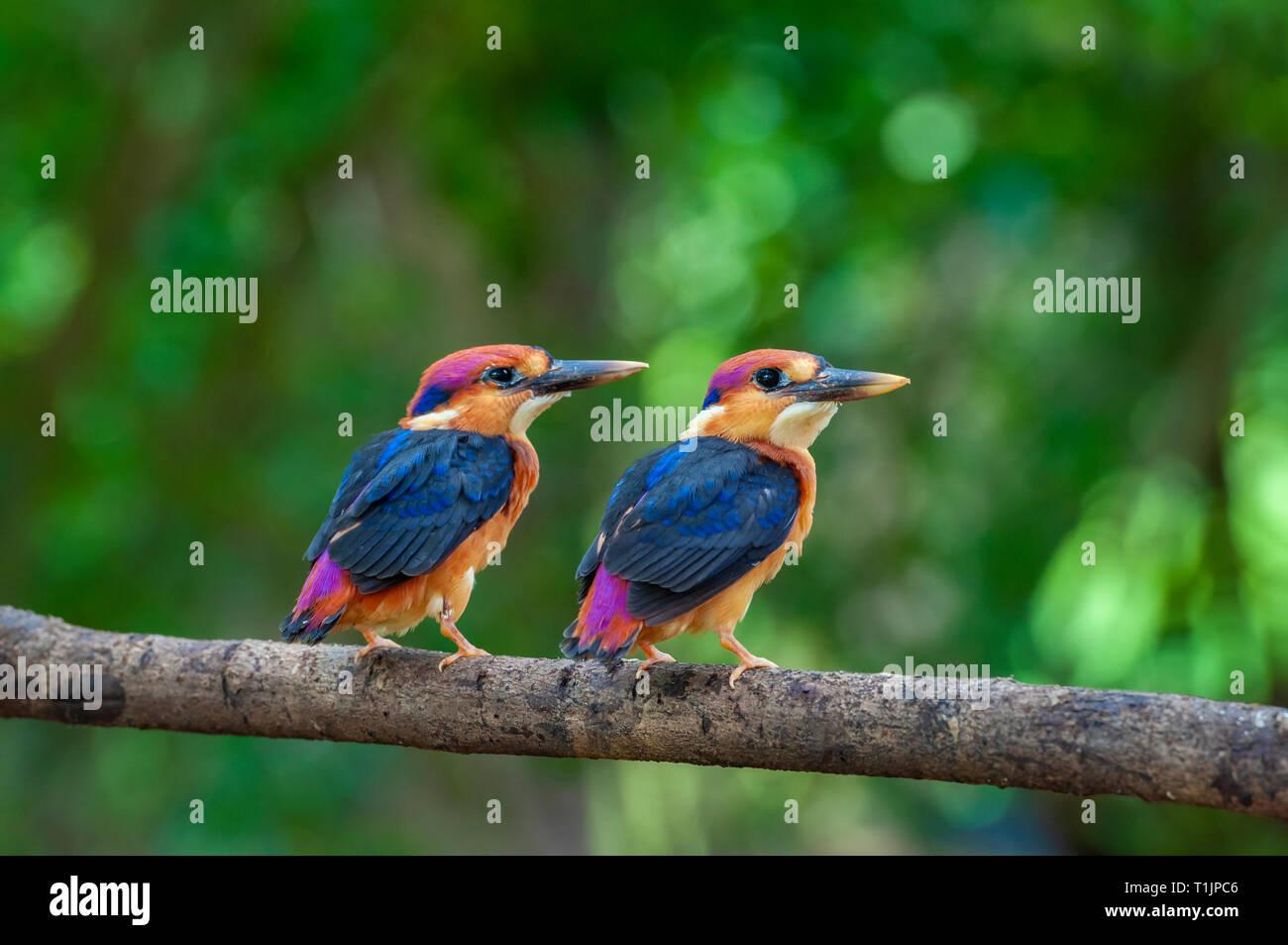 baby Oriental Dwarf Kingfishers  at Chiplun,Maharashtra,India - Stock Image