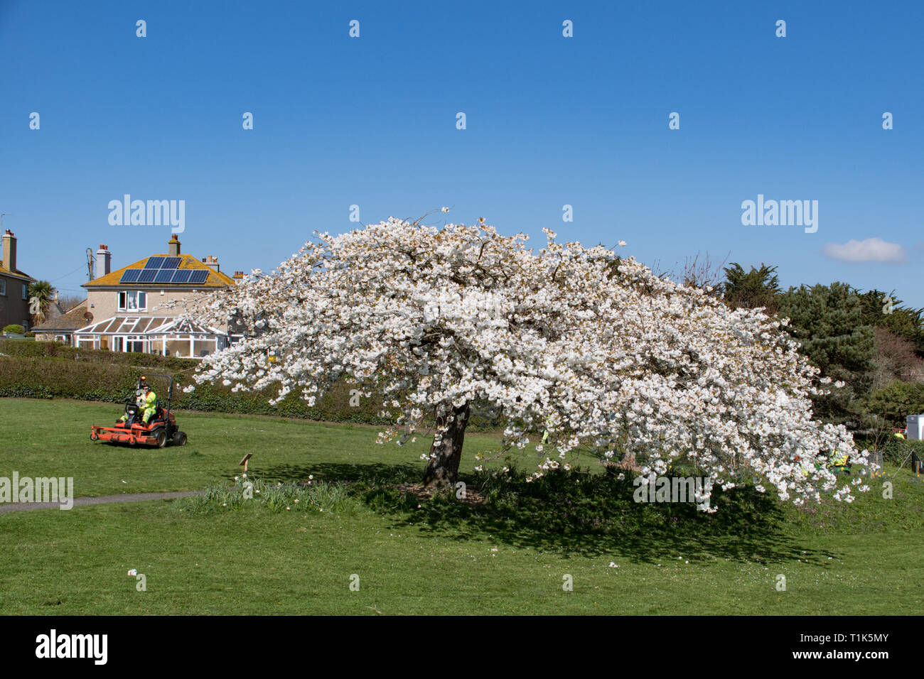 Newlyn, Cornwall, UK. 27th Mar, 2019. UK Weather. Bright sunny afternoon at Wherrytown, near Newlyn in Cornwall. Gardeners were out mowing the grass around this blossom tree. Credit: Simon Maycock/Alamy Live News Stock Photo