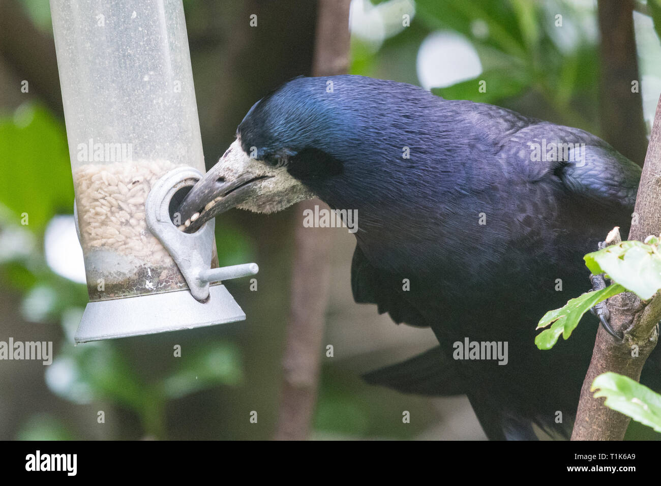 Stirlingshire, Scotland, UK. 27th Mar, 2019. a rook using its intelligence to access sunflower seeds in a bird feeder in a Stirlingshire garden. Much too large to perch on the feeder, and unable to reach the seeds inside, the rook could just manage to stretch and grab the perch in its beak. It then pulled the feeder towards itself before letting it go again in a swinging motion. As the feeder swung back towards the rook it was close enough for it to quickly grab a beakful of seeds, repeating the feat several times before being disturbed Credit: Kay Roxby/Alamy Live News Stock Photo