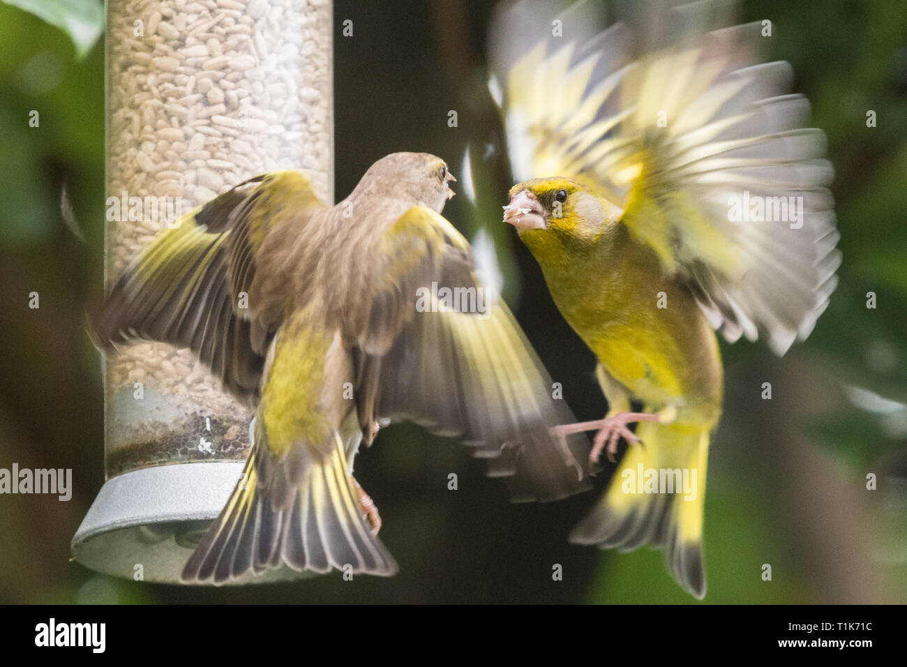 Stirlingshire, Scotland, UK. 27th Mar, 2019. UK weather - greenfinches fighting over food brighten up an otherwise dull day in Stirlingshire Credit: Kay Roxby/Alamy Live News Stock Photo