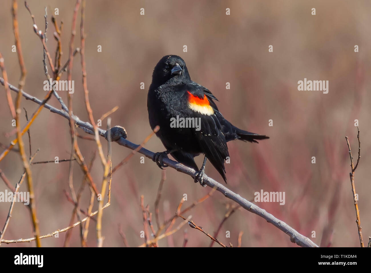 Male  red-winged blackbird (Agelaius phoeniceus) sitting on a branch of a bush. Stock Photo