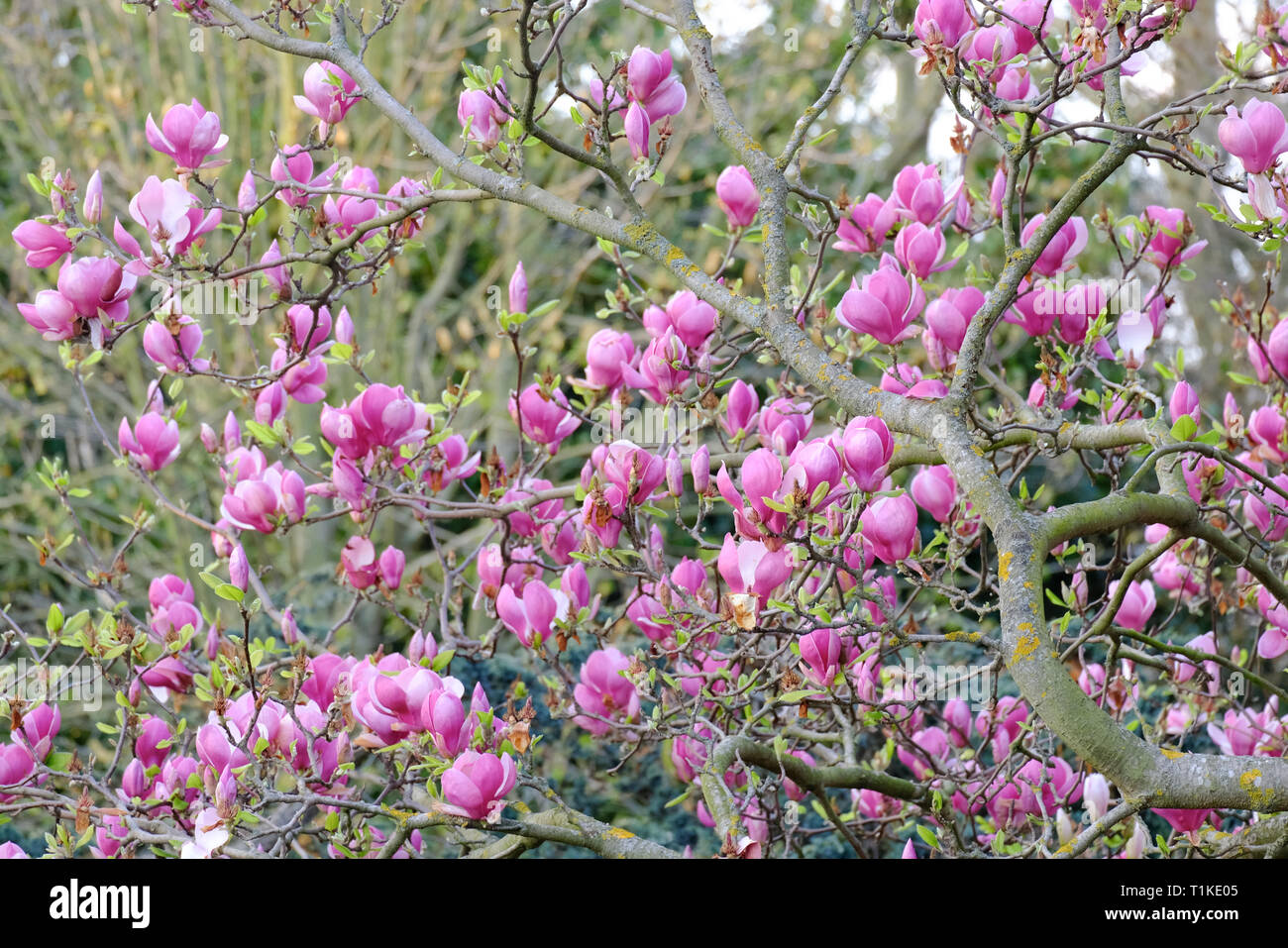 Pink Magnolia Tree With Blooms And Budding Leaves Stock Photo