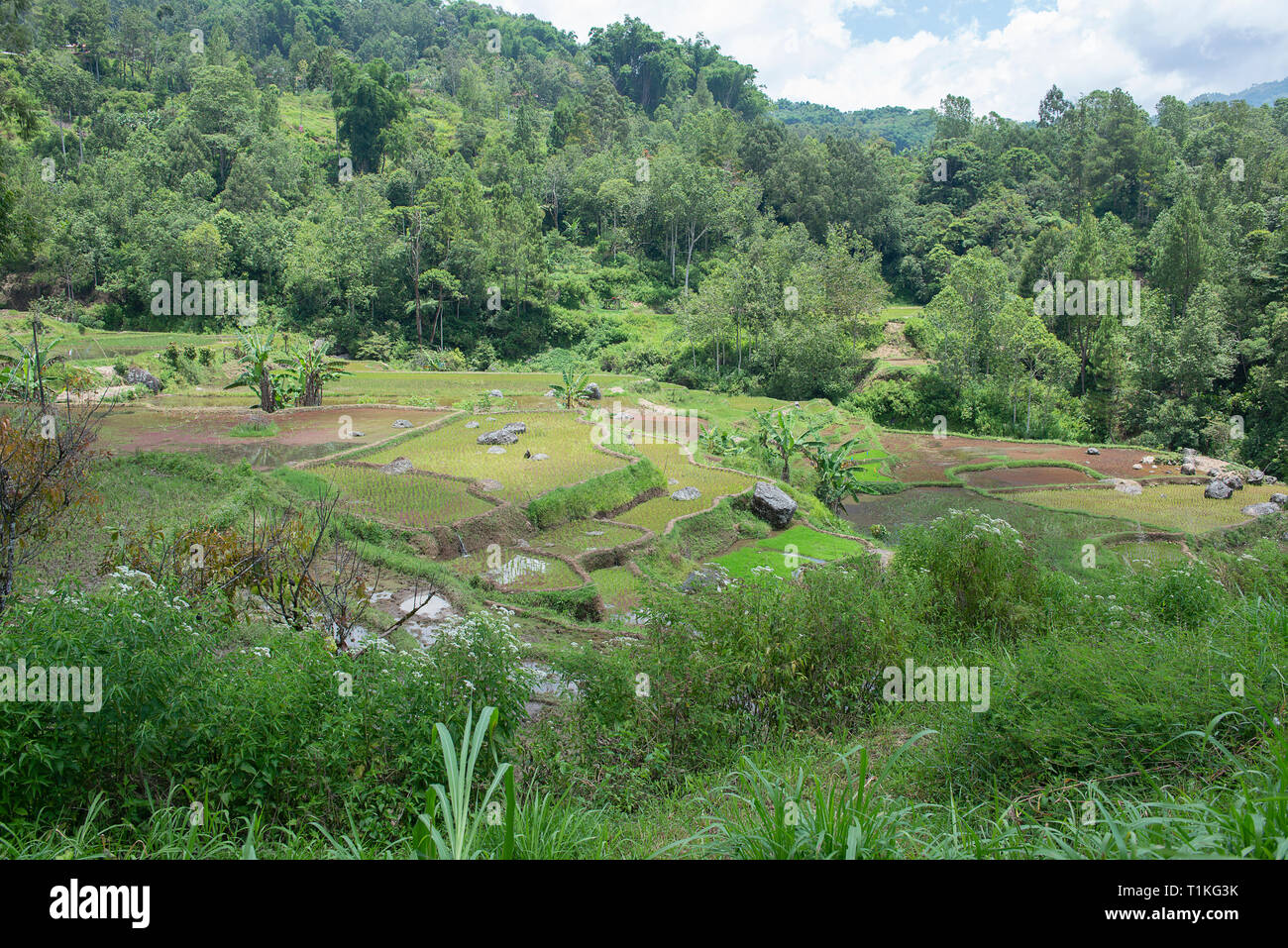 Green and brown rice terrace fields in Tana Toraja, South Sulawesi, Indonesia - Stock Image