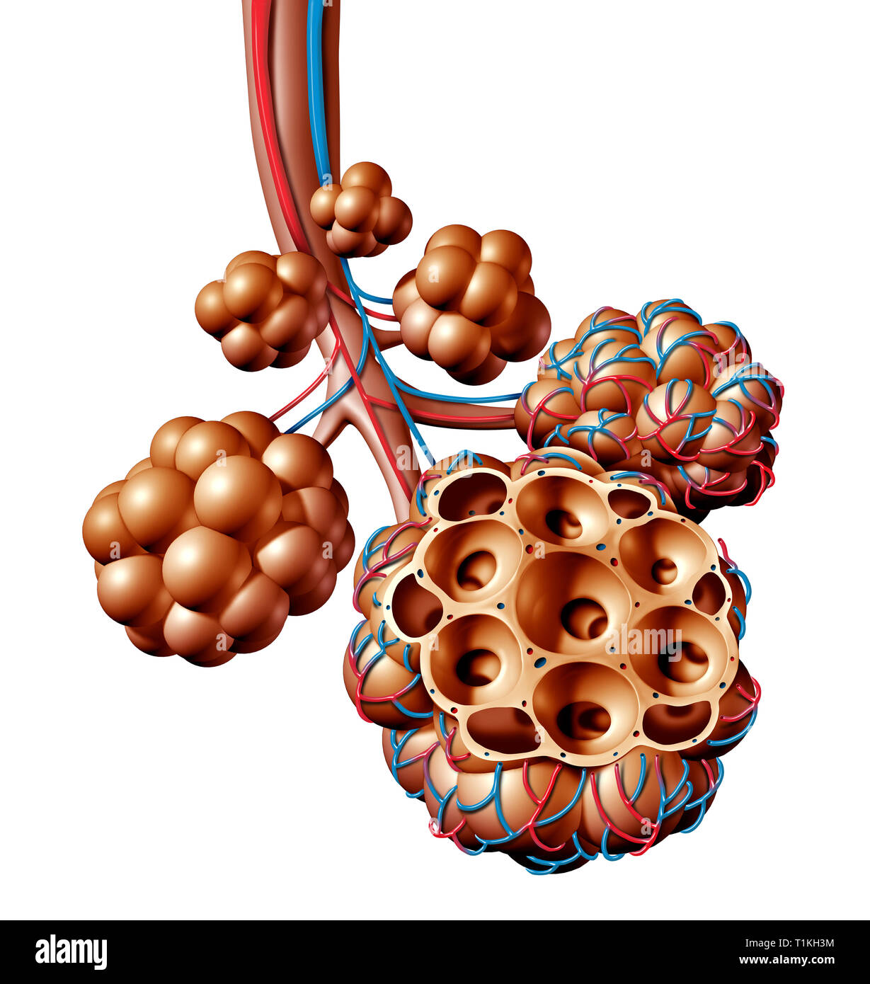 Pulmonary alveoli or alveolus anatomy diagram as a medical concept of a lung anatomy and respiratory and respiration medicine. - Stock Image
