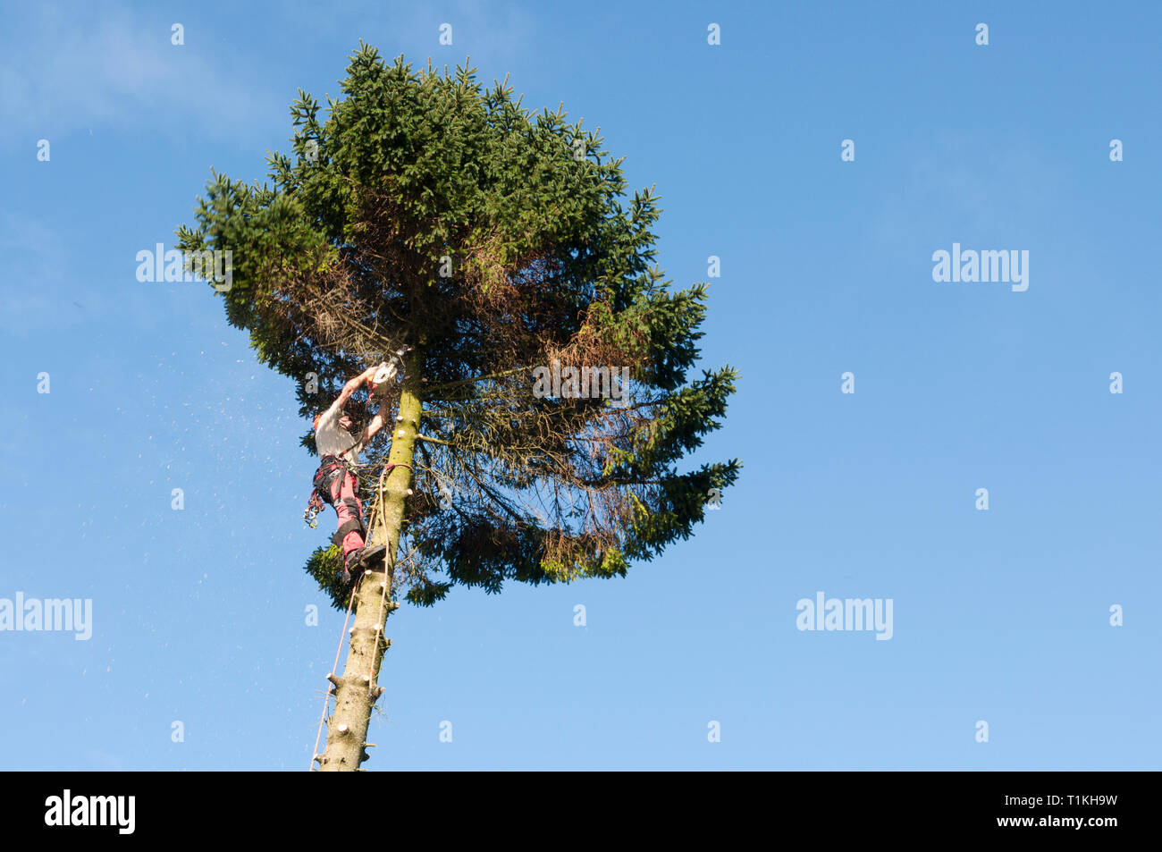 Tree surgeon stripping, cutting off limbs of a conifer before felling - Stock Image