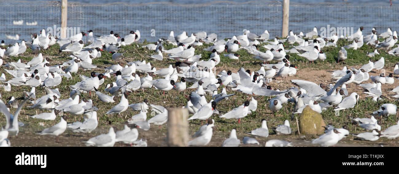 Mediterranean Gull colony Stock Photo