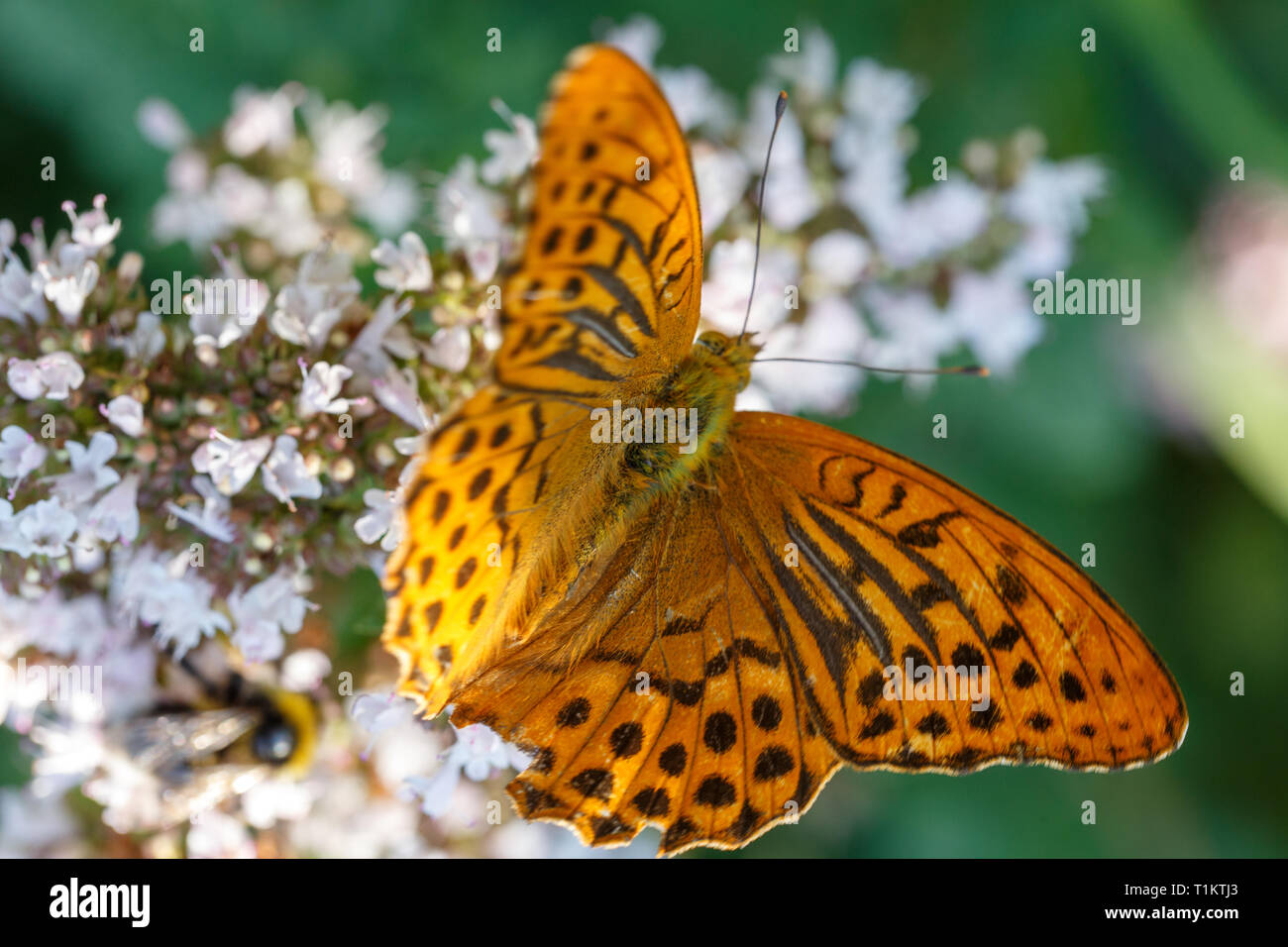 Silver washed fritillary. Argynnis paphia, orange butterfly on oregano or mint flowers - Stock Image