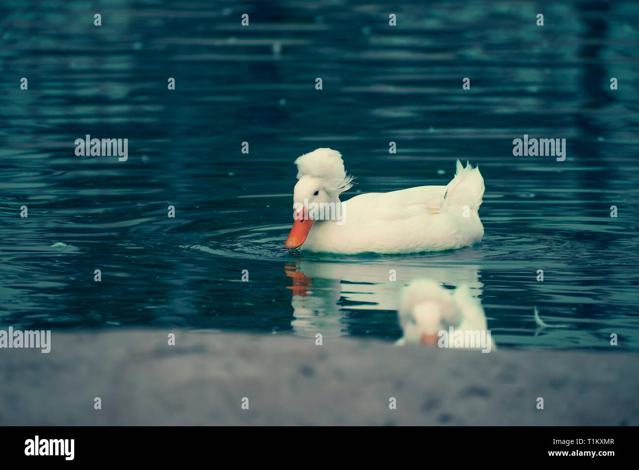 White duck swimming in the blue water of a lake - Stock Image