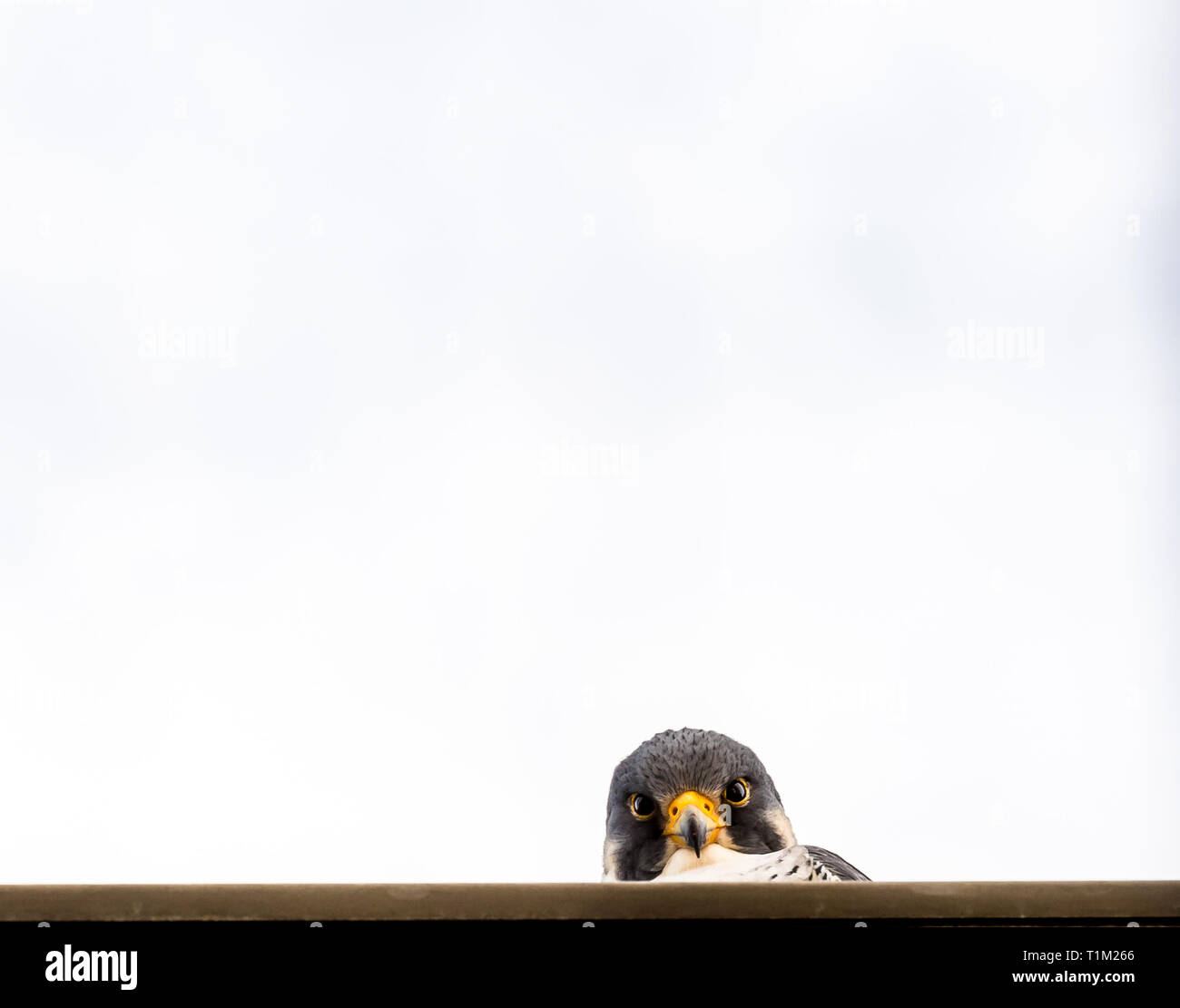Peregrine Falcon peering over a wall. - Stock Image