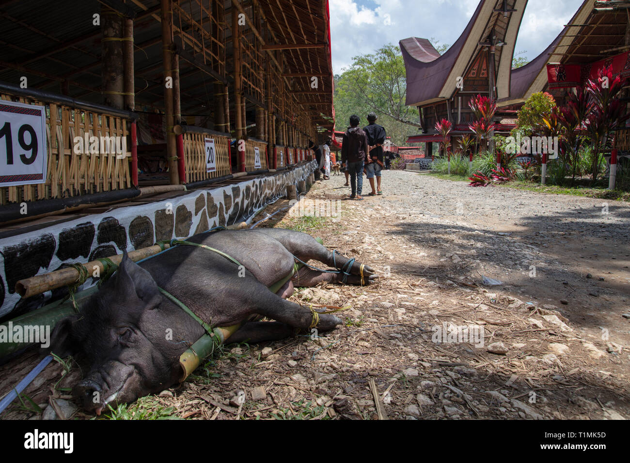 A sacrificial pig on a bamboo truss at a funeral ceremony in a village in Tana Toraja, Sulawesi, Indonesia - Stock Image