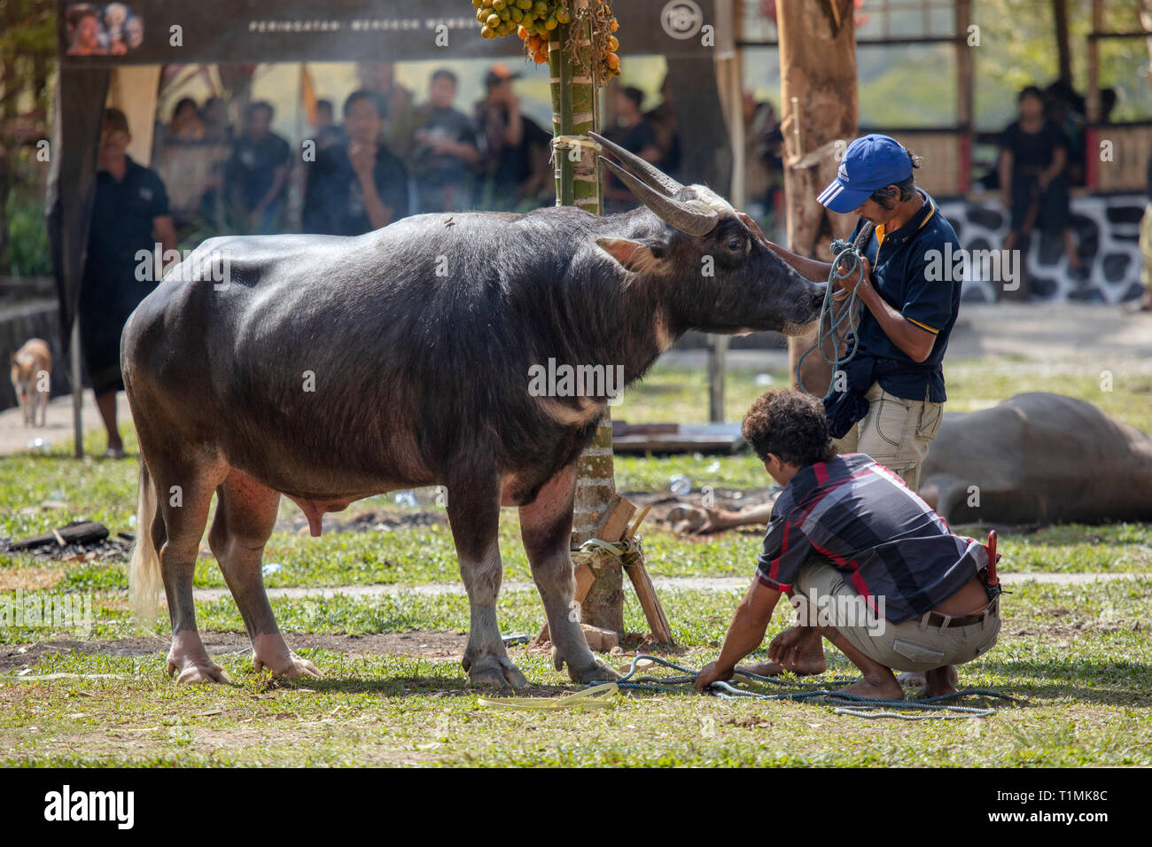 A buffalo sacrifice at a funeral ceremony in Tana Toraja, Sulawesi, Indonesia - Stock Image