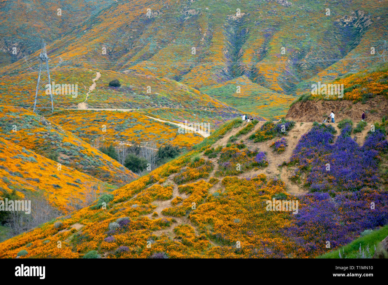 Lake Elsinore, California - March 20, 2019: Tourists take photos and walk the trail at Walker Canyon, admiring the wildflowers and poppies during the  - Stock Image