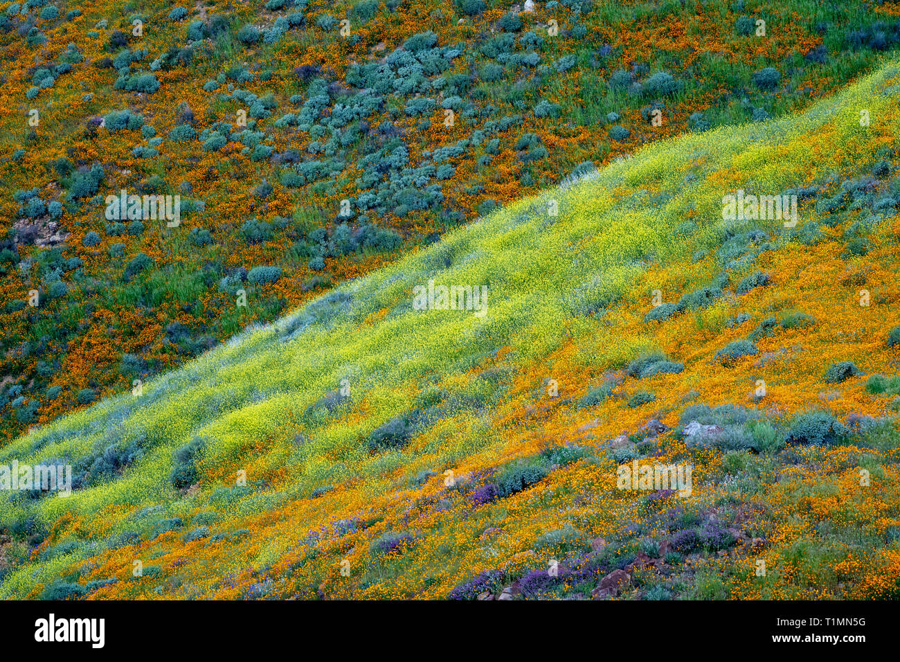 Hills of poppies and other mixed wildflowers in Walker Canyon in Lake Elsinore California during a spring superbloom - Stock Image